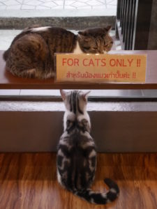 Thaïlande-Chiang Rai-CAT 'n' A CUP Cat Cafe