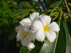 Thaïlande-Koh Phi Phi-frangipanier