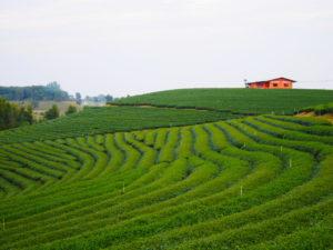 Thaïlande-plantations thé-Mae salong