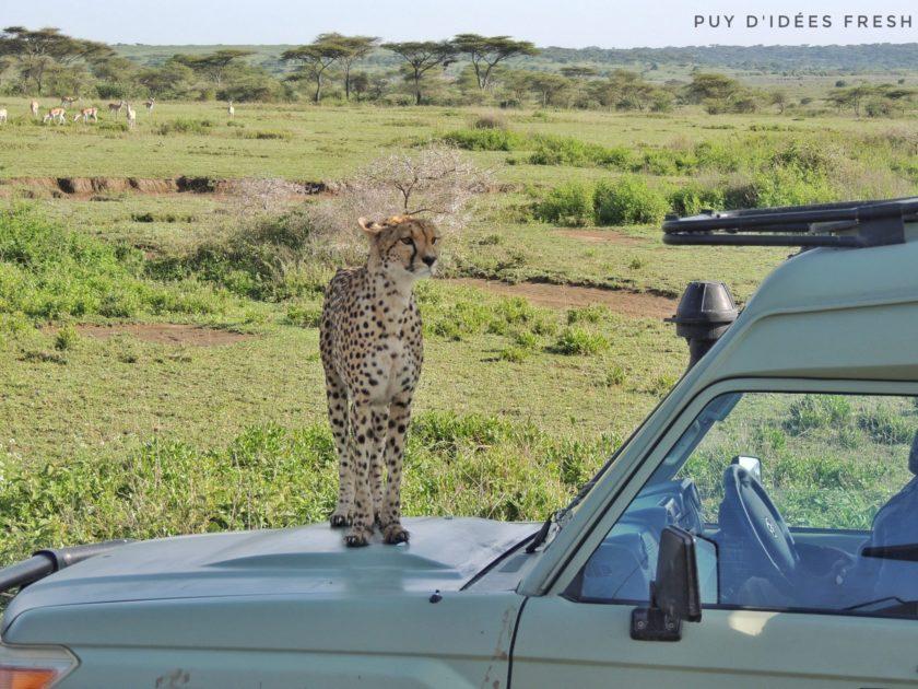 guepard ndutu