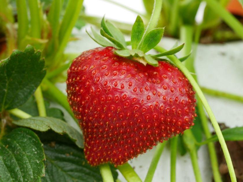 fraises Vergers Ornon